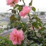 国分寺の閑静な高台にある ローズカフェの庭からお届け。