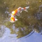 綺麗な鯉が身近に