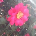 冬の国分寺に咲き誇る