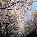 国分寺も桜満開!